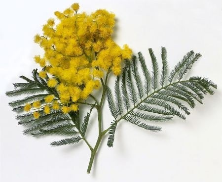 Mimosa