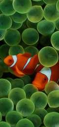 Pesci pagliaccio tra le alghe